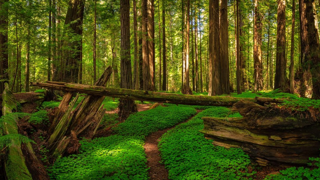 Redwood Forest Northern California